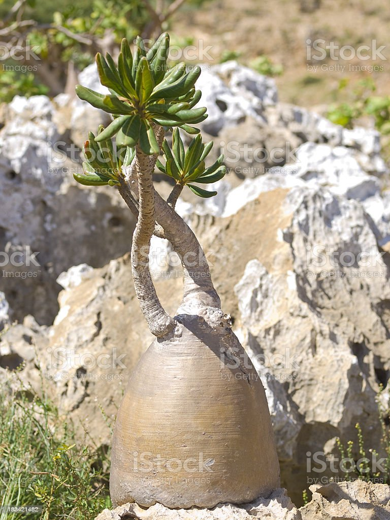 Bottle tree and rock stock photo