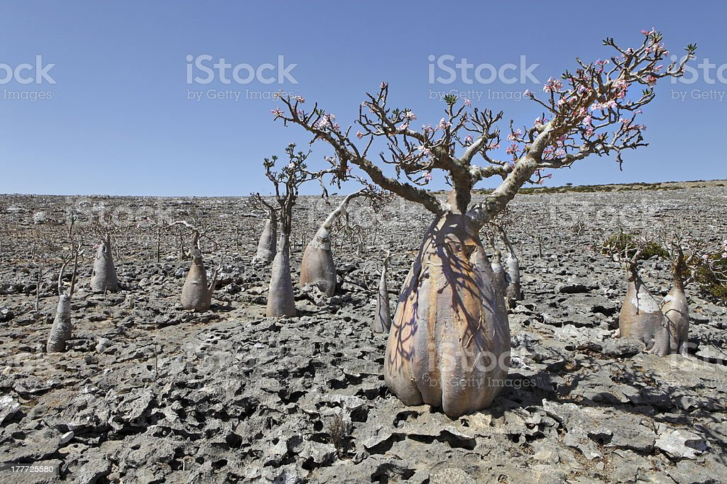 Bottle tree - endemic of Socotra Island royalty-free stock photo