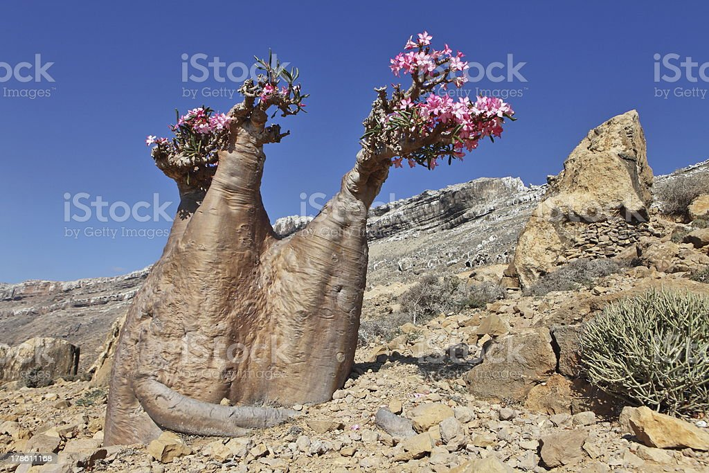 Bottle tree - endemic of Socotra Island royalty-free stock photo