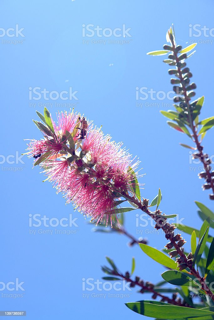 Bottlebrush flower royalty-free stock photo