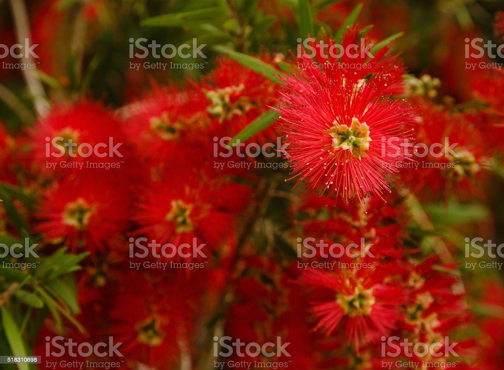 Bottlebrush Flowers stock photo