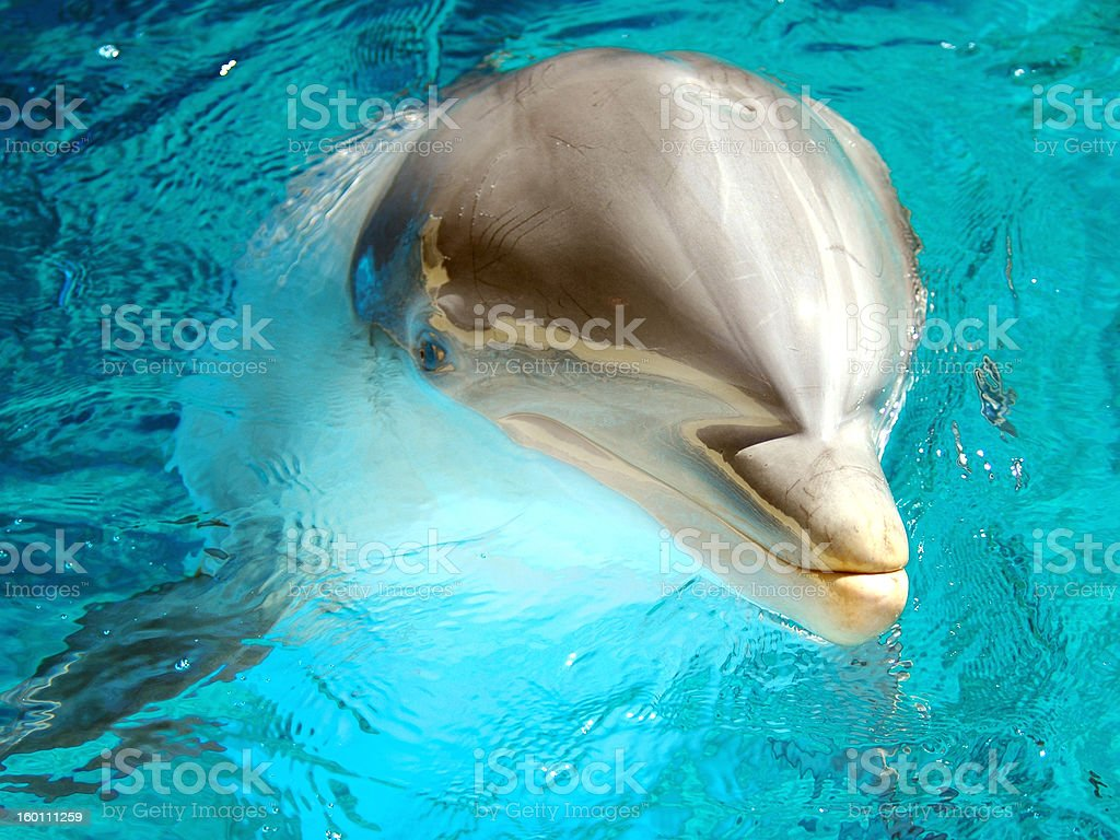 Bottlenose Dolphin 3 royalty-free stock photo