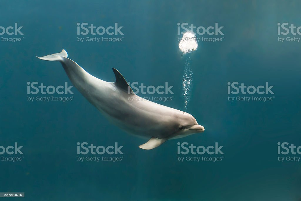 Bottlenose dolphin blowing bubbles stock photo