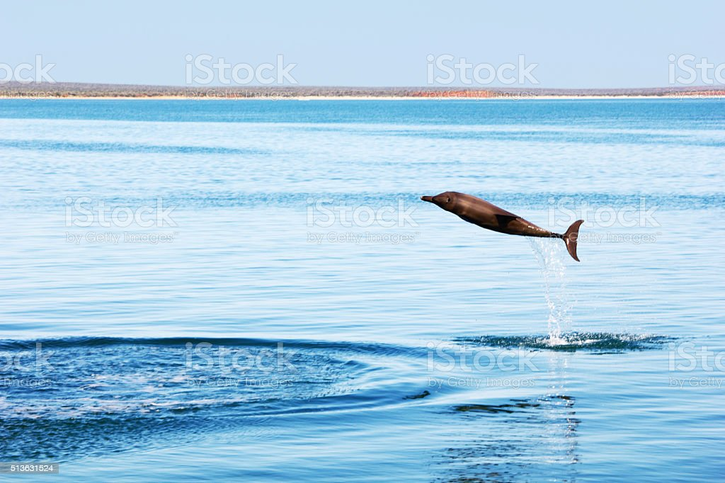 Bottlenose Dolphin jumping out of the Water, Australia stock photo