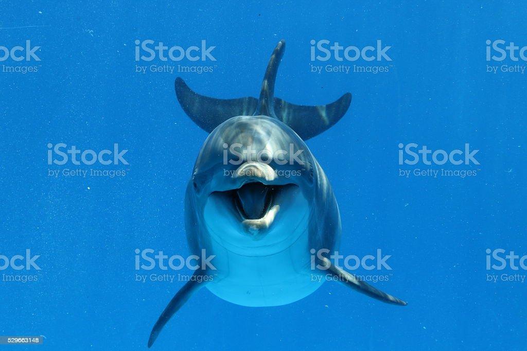 Bottlenose Dolphin stock photo