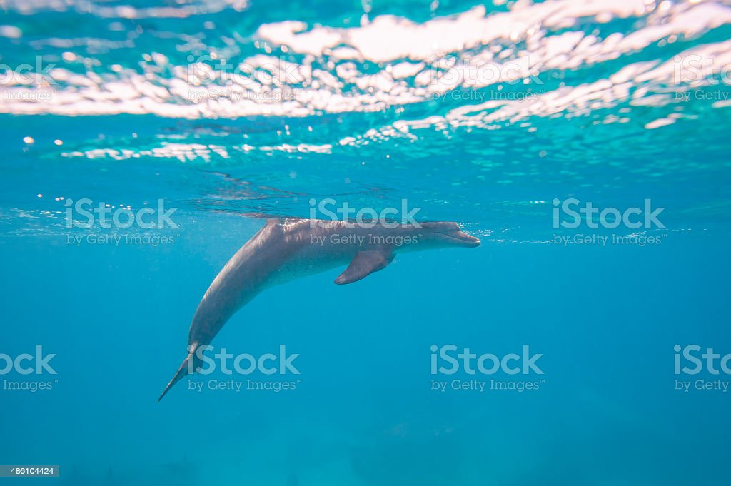 Bottlenose dolphin swimming in a lagoon stock photo