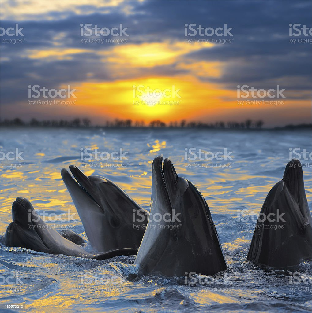 Bottlenose dolphins basking in the sunset stock photo