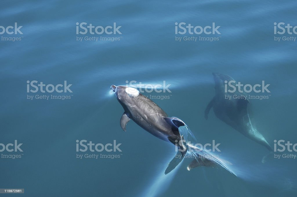 bottlenose dolphins, Tursiops truncatus stock photo