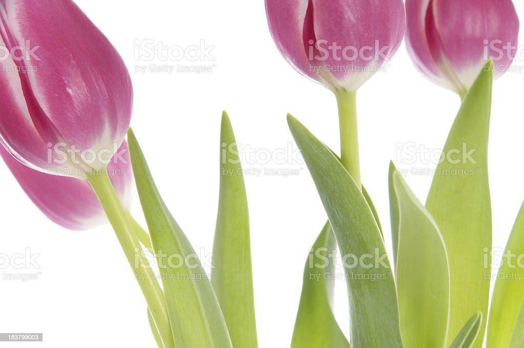 Bottom of pink tulips. stock photo
