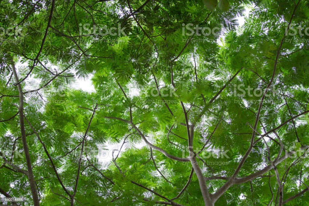bottom view  green leaf  of tree in tropical forest stock photo