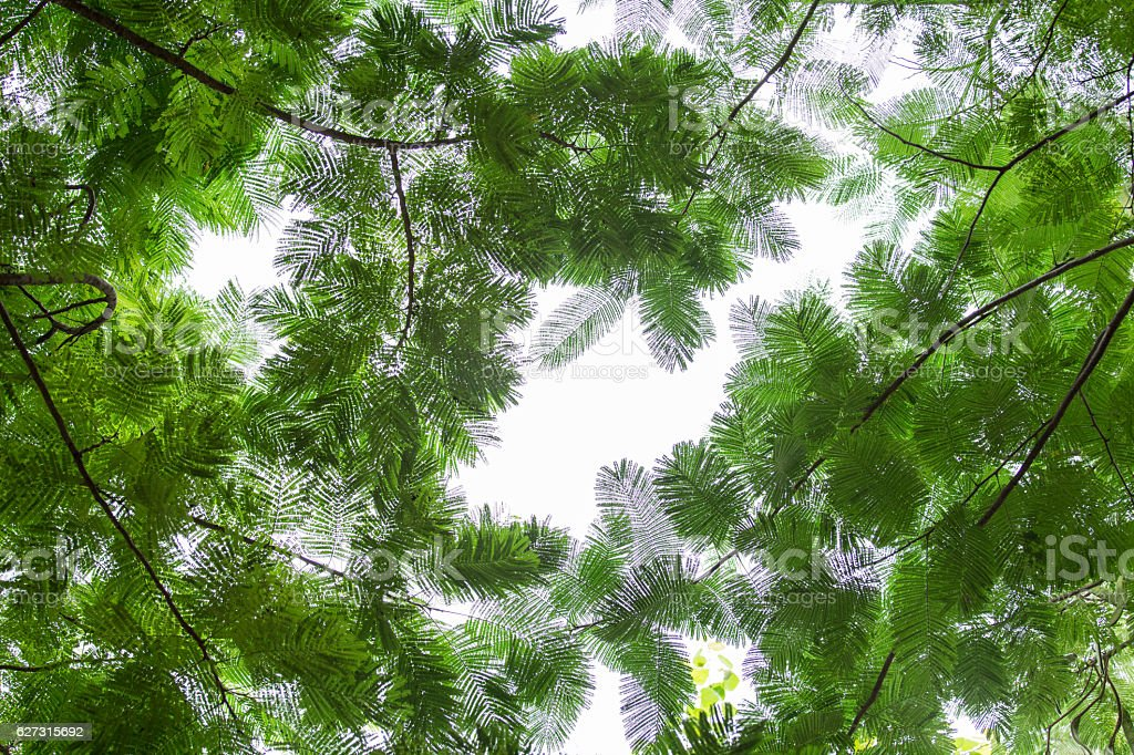 bottom view group of green leaf  of tree in forest stock photo