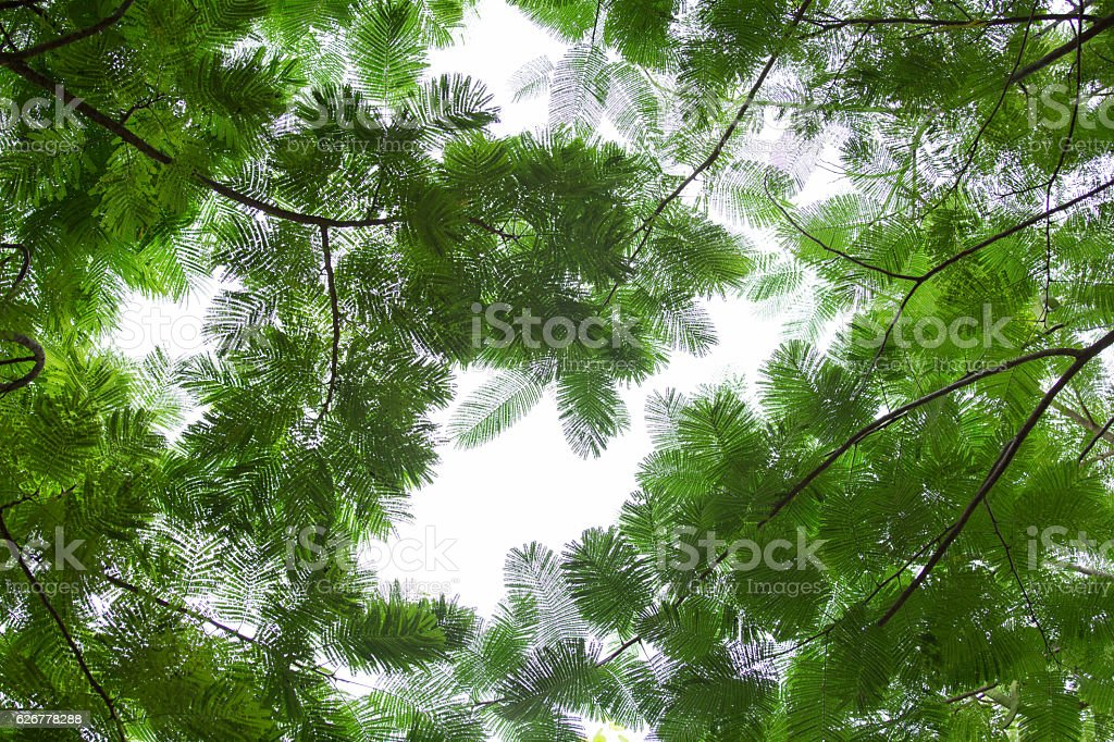 bottom view group of green leaf  of tree in tropical stock photo