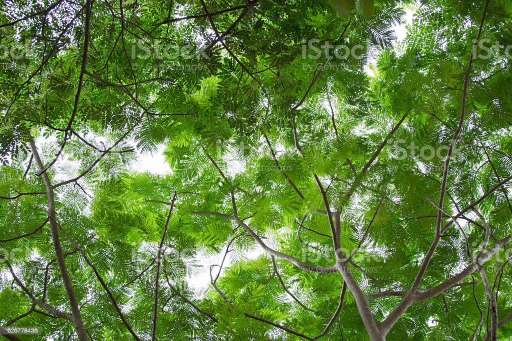 bottom view group of green leaf  of tree stock photo