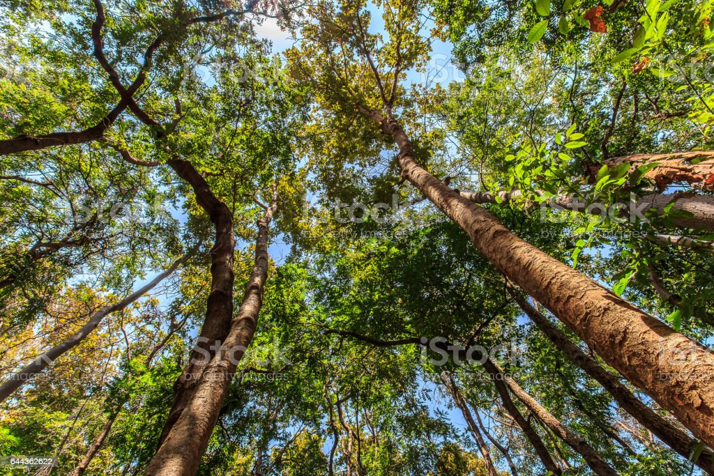 Bottom view of tall trees in the forest stock photo
