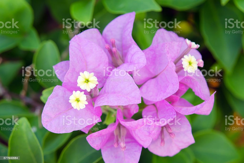 Bougainvilea hybrida flowers in Thailand stock photo