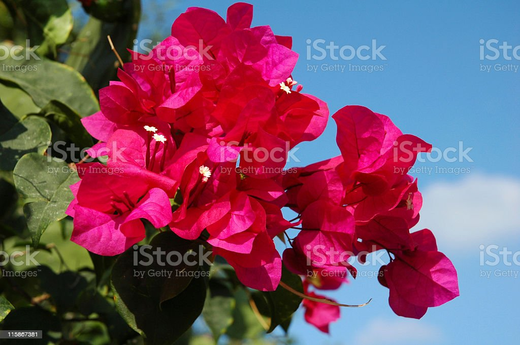 Bougainvillea against a blue sky royalty-free stock photo