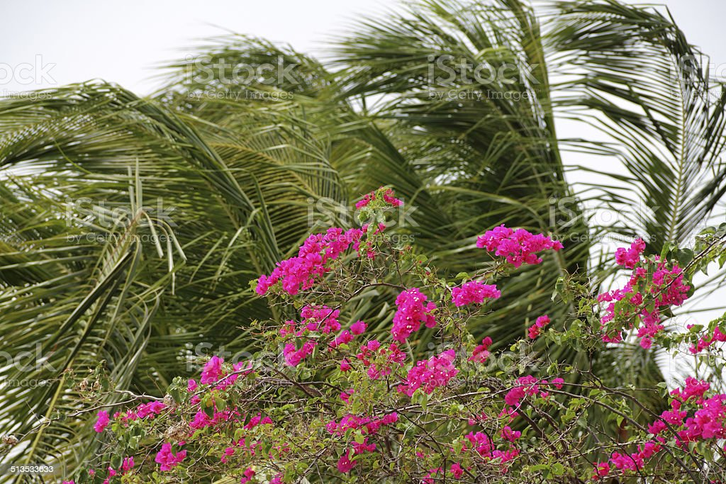 bougainvillea and palmleaves stock photo
