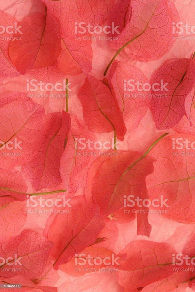 Bougainvillea Blossoms royalty-free stock photo