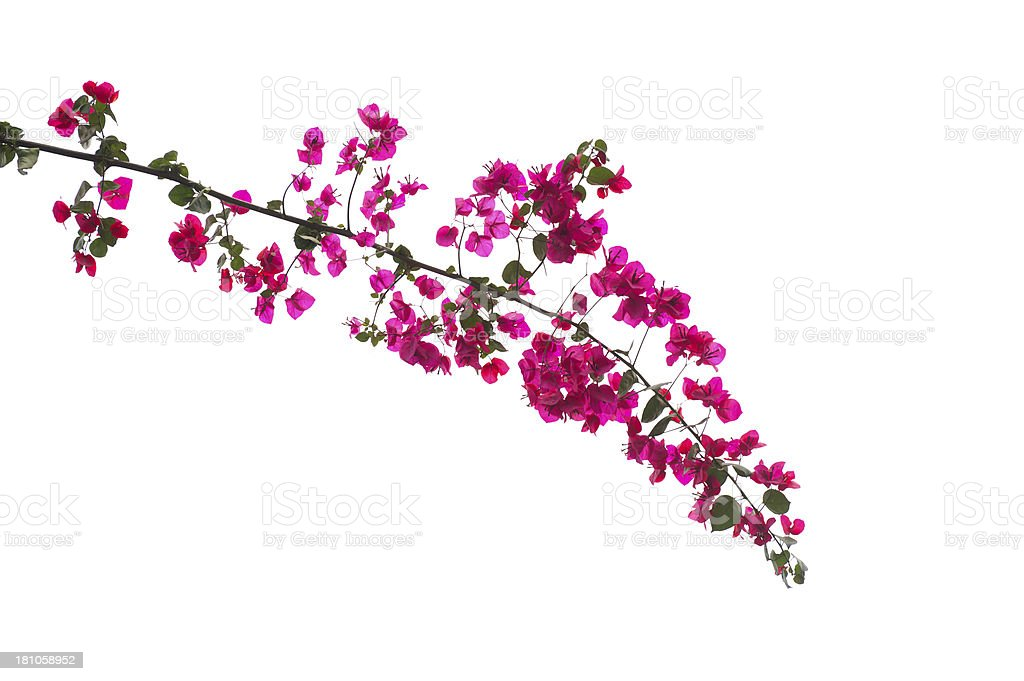 Bougainvillea Branch royalty-free stock photo