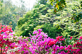 Bougainvillea bunch in Summer