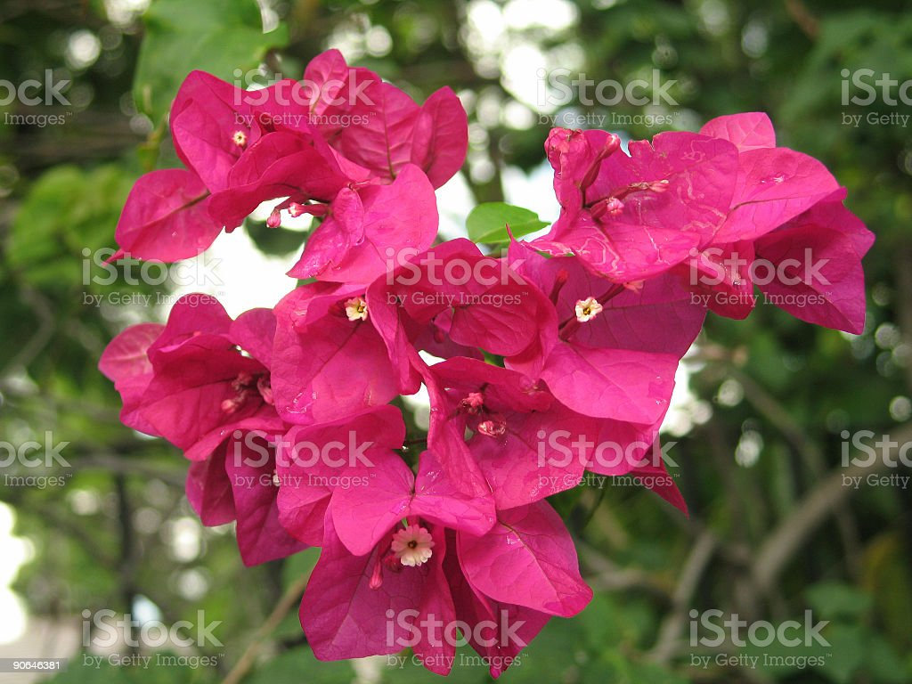 Bougainvillea Bunch royalty-free stock photo
