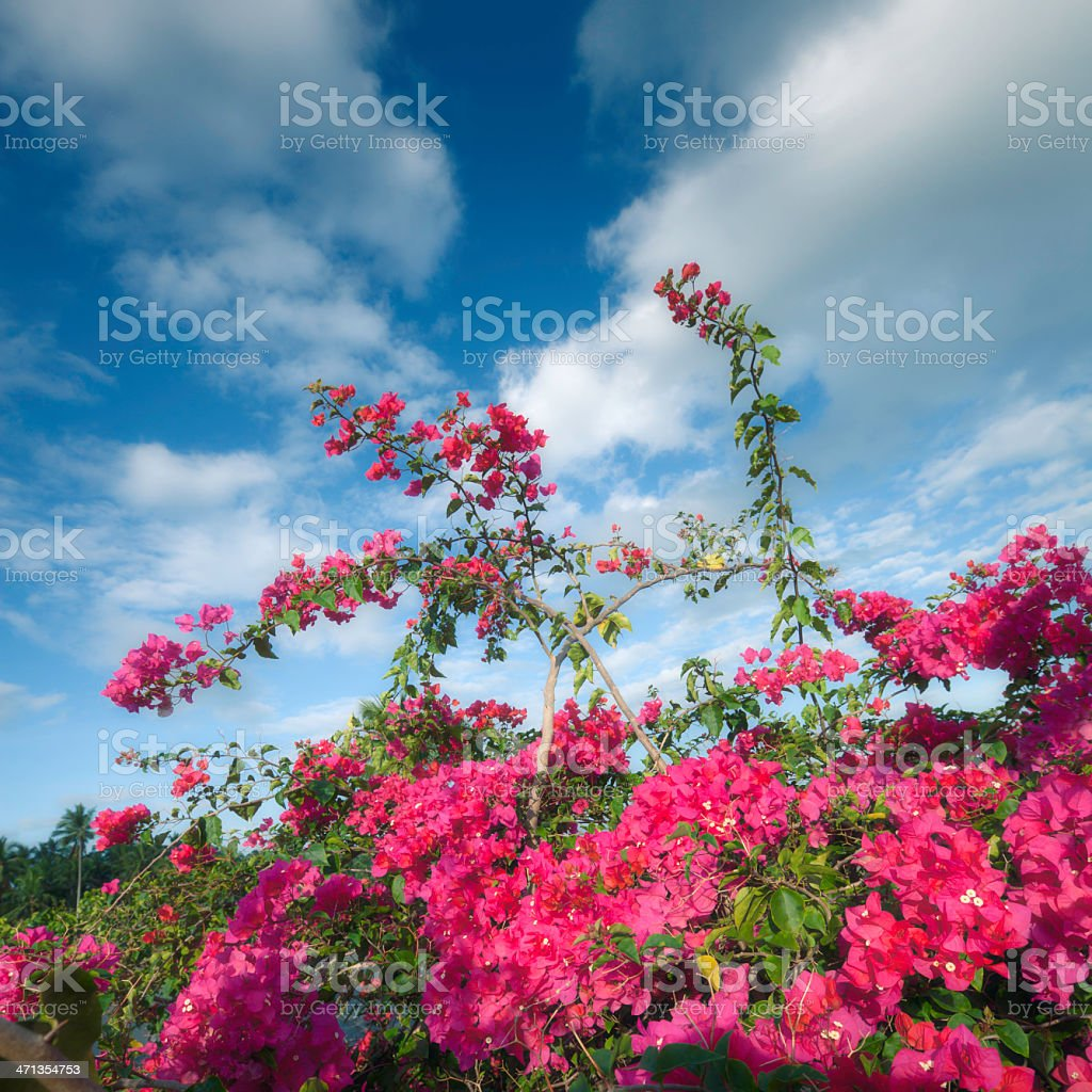 Bougainvillea bush stock photo