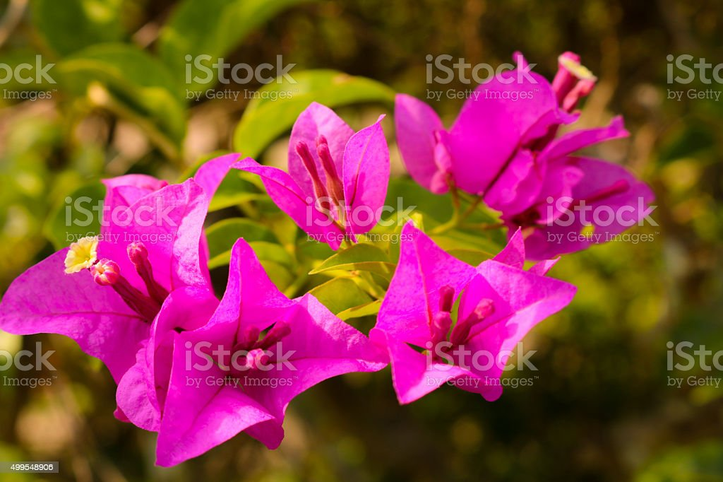 Bougainvillea flower in the garden stock photo