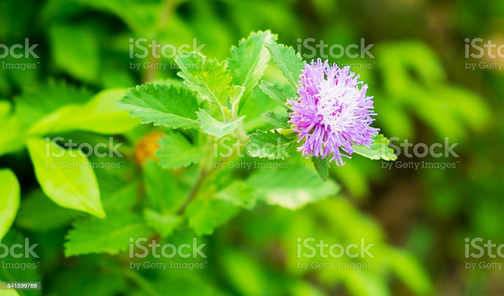 bougainvillea-Blumen Lizenzfreies stock-foto