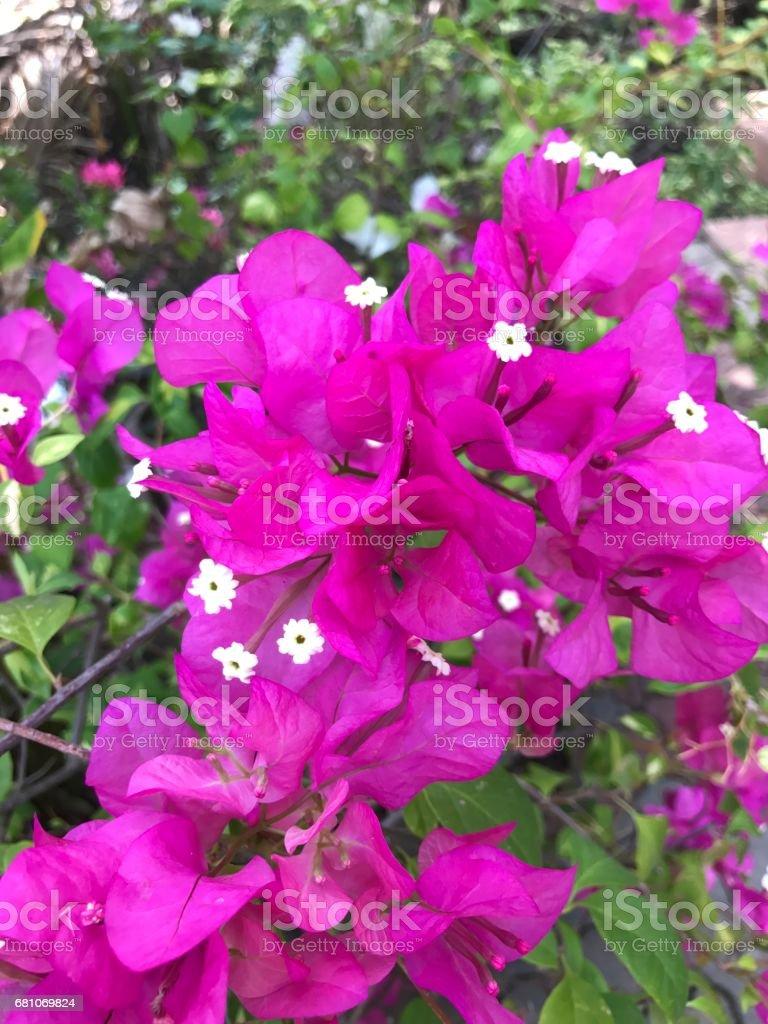 Bougainvillea flower. stock photo