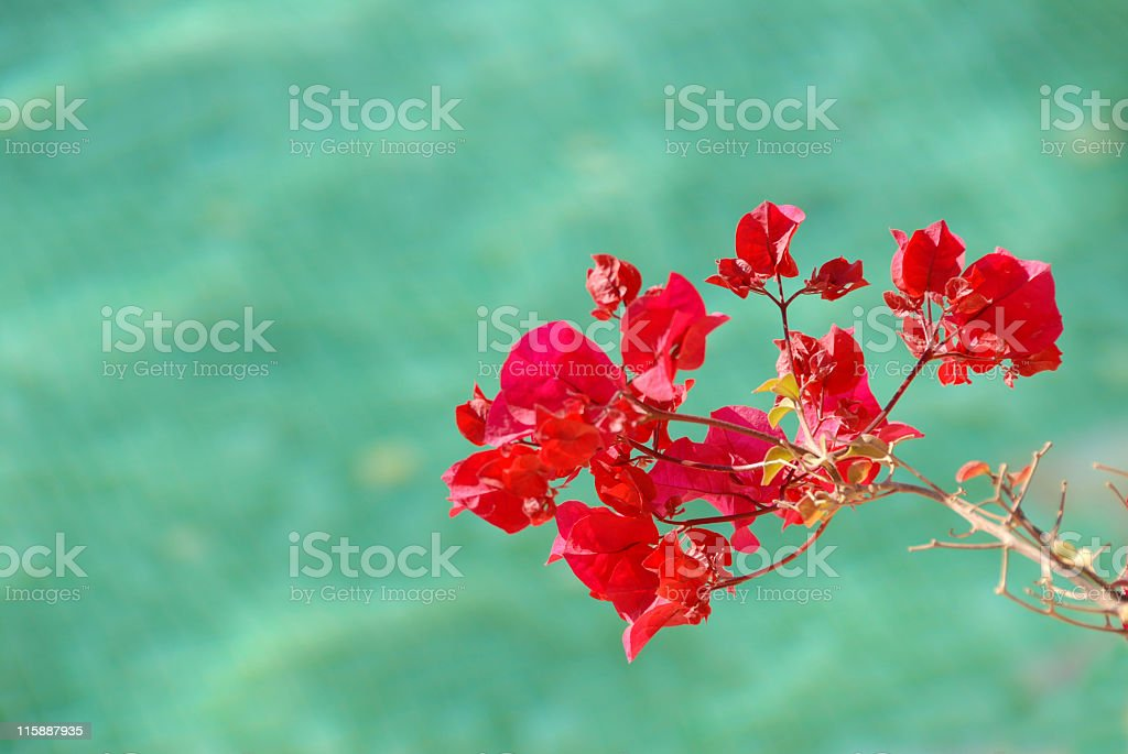 Bougainvillea flowers royalty-free stock photo