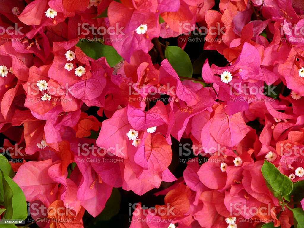 Bougainvillea Flowers stock photo
