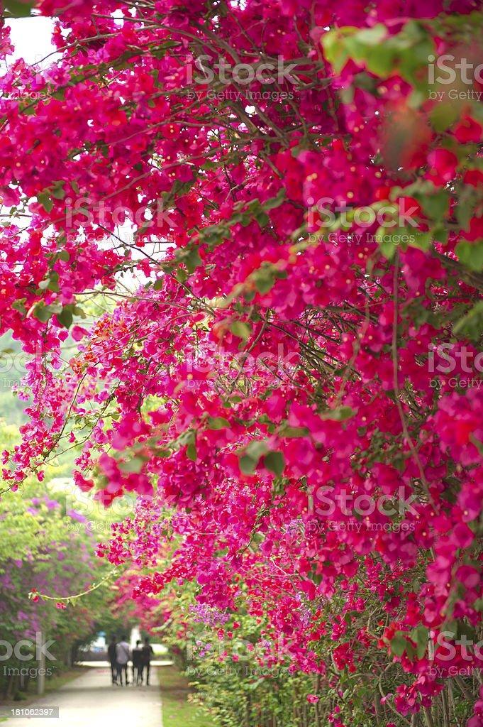Bougainvillea Garden royalty-free stock photo