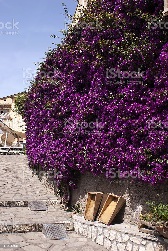 Bougainvillea  growing against old wall in Italy stock photo