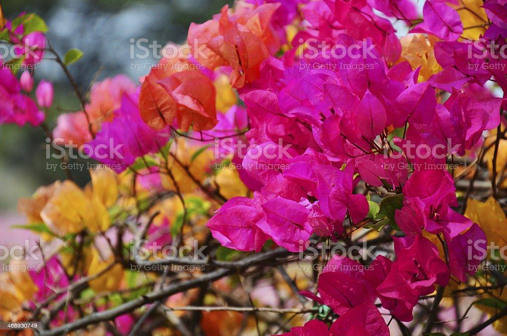 Bougainvillea hybrida or Paper flower stock photo