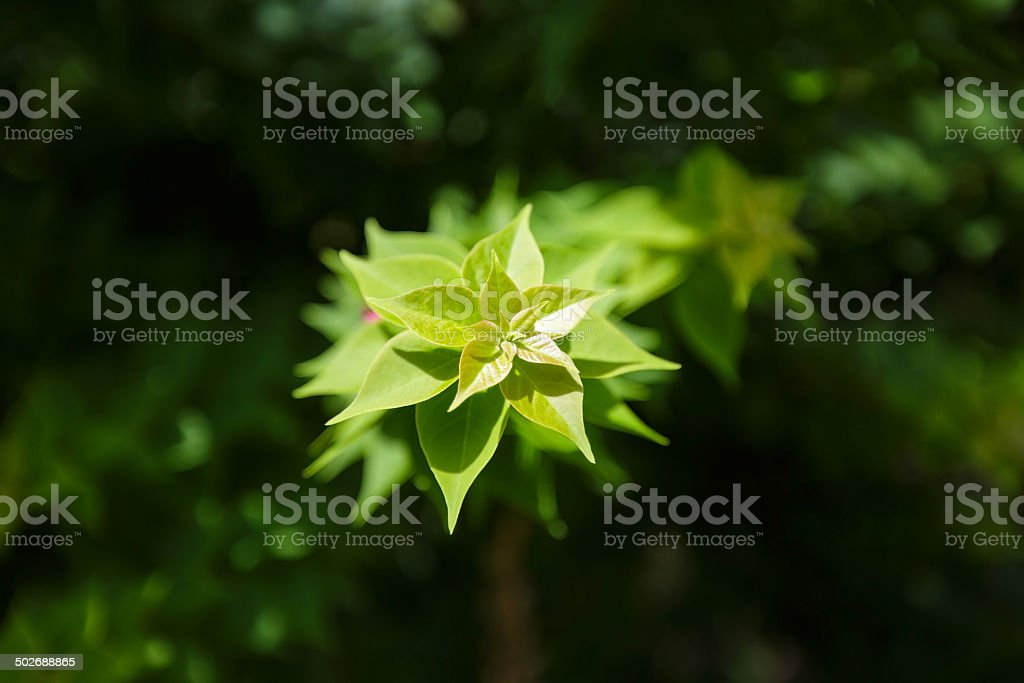 Bougainvillea leafs Lizenzfreies stock-foto