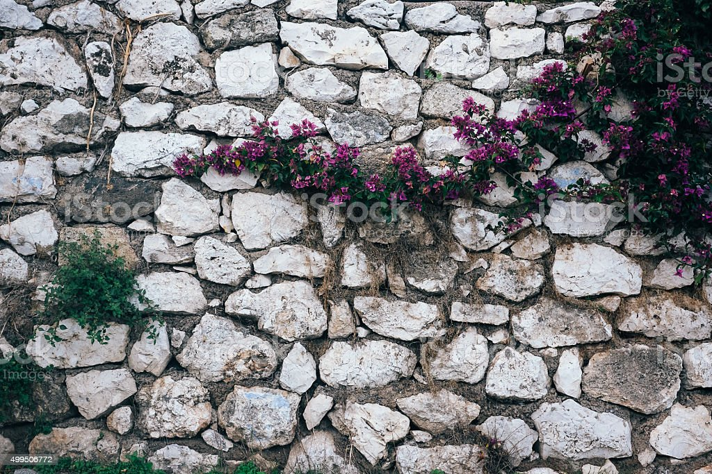Bougainvillea on stone wall stock photo
