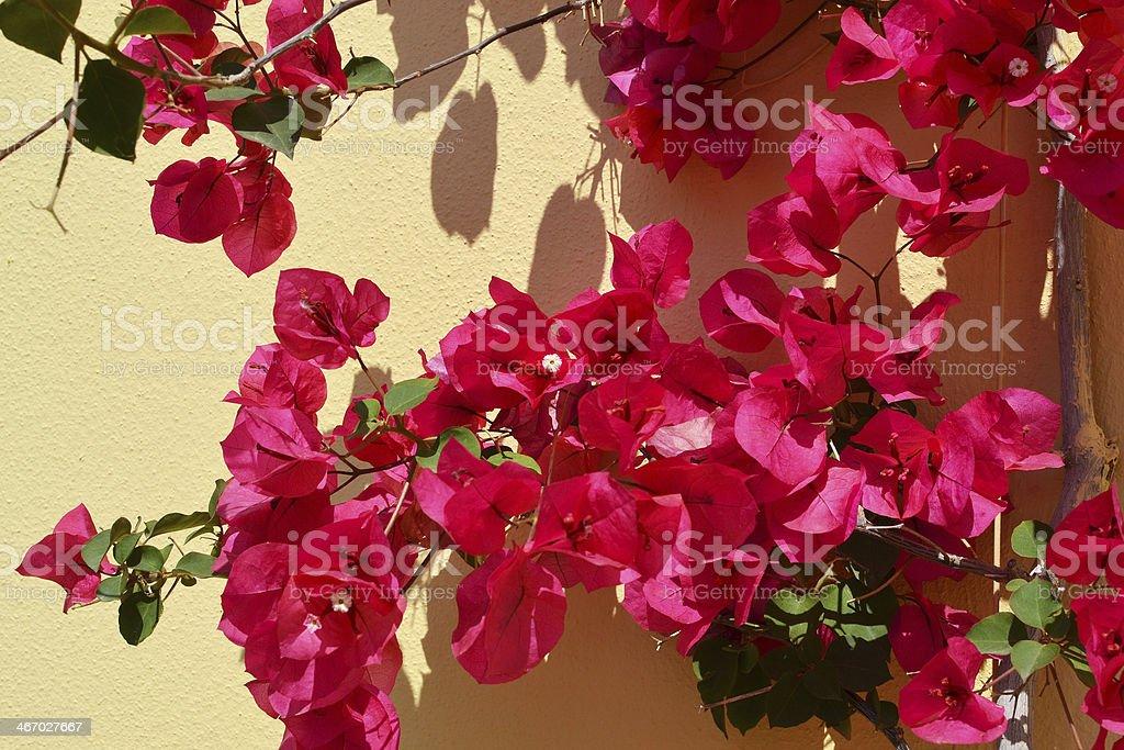 ブーゲンビリアスイートまたは Nyctaginaceae クレタ島。 ロイヤリティフリーストックフォト