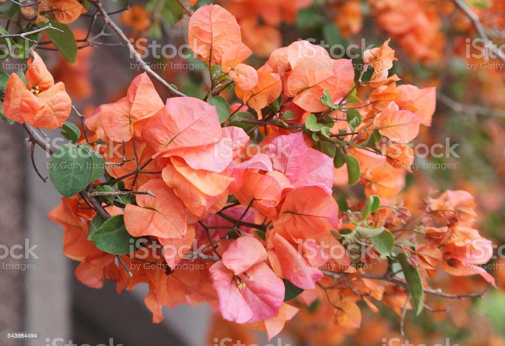 Bougainvillea (Bougainvillea spectabilis) Orange Flowers stock photo