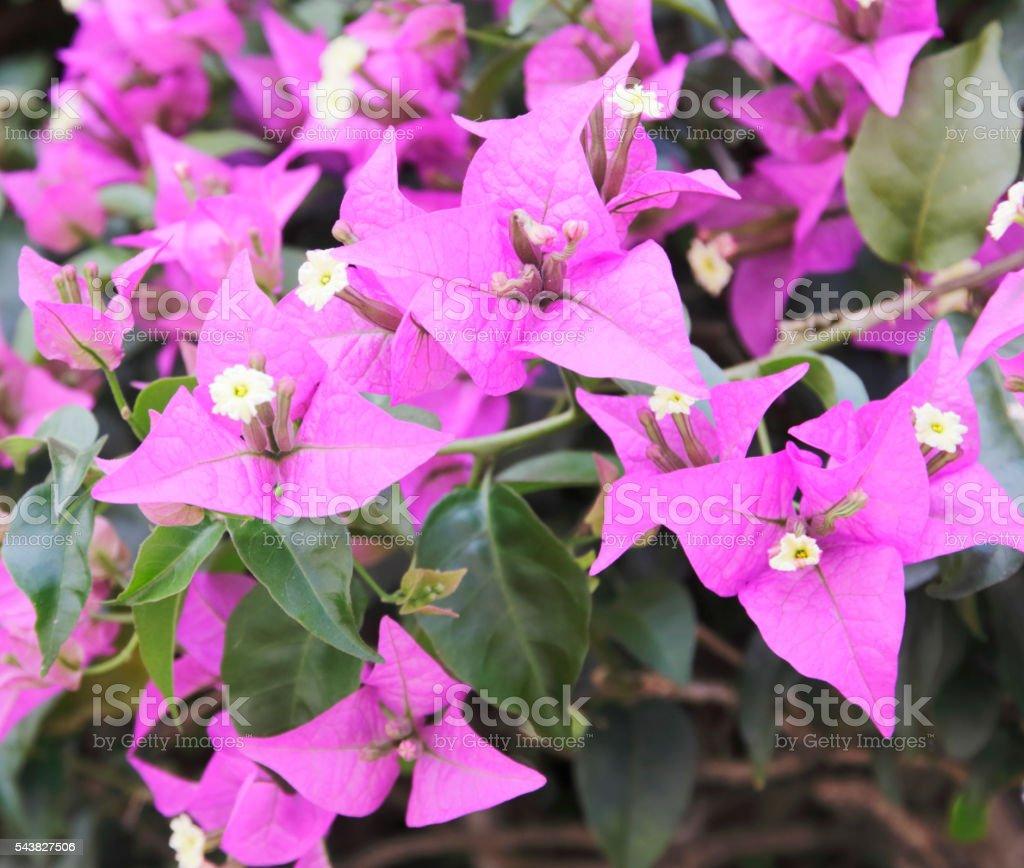 Bougainvillea (Bougainvillea spectabilis) stock photo