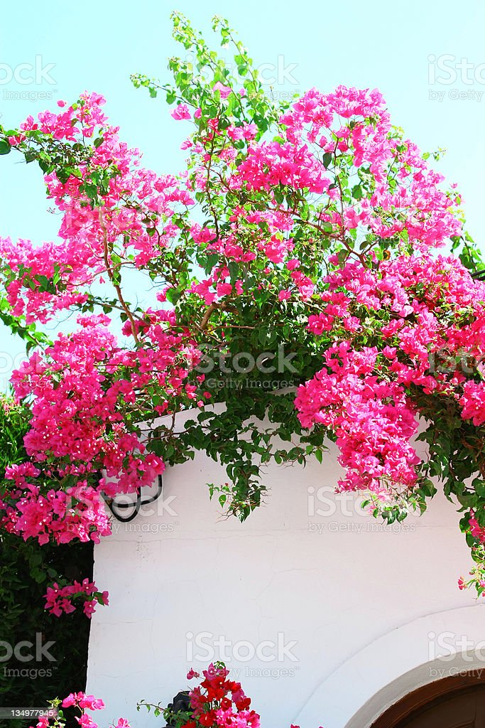 Bougainvillea spectabilis on the white wall royalty-free stock photo