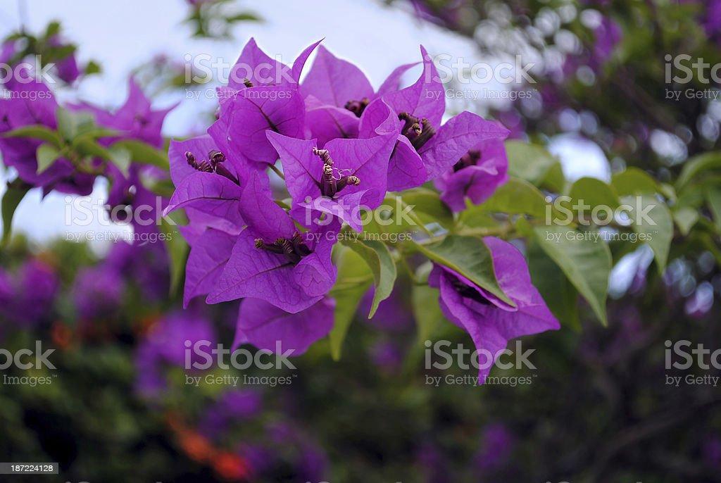 Bougainvillea spectabilis royalty-free stock photo