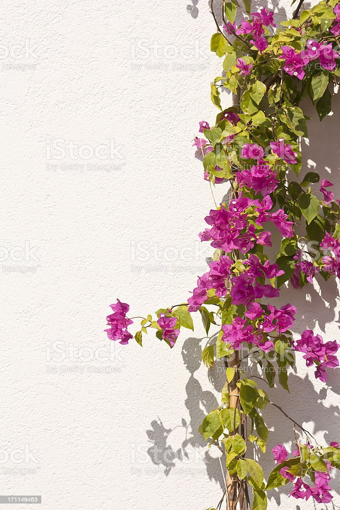 bougainvillea, spring time flower beauty in nature stock photo