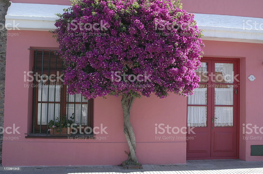 Bougainvillea Tree in Colonia, Uruguay royalty-free stock photo