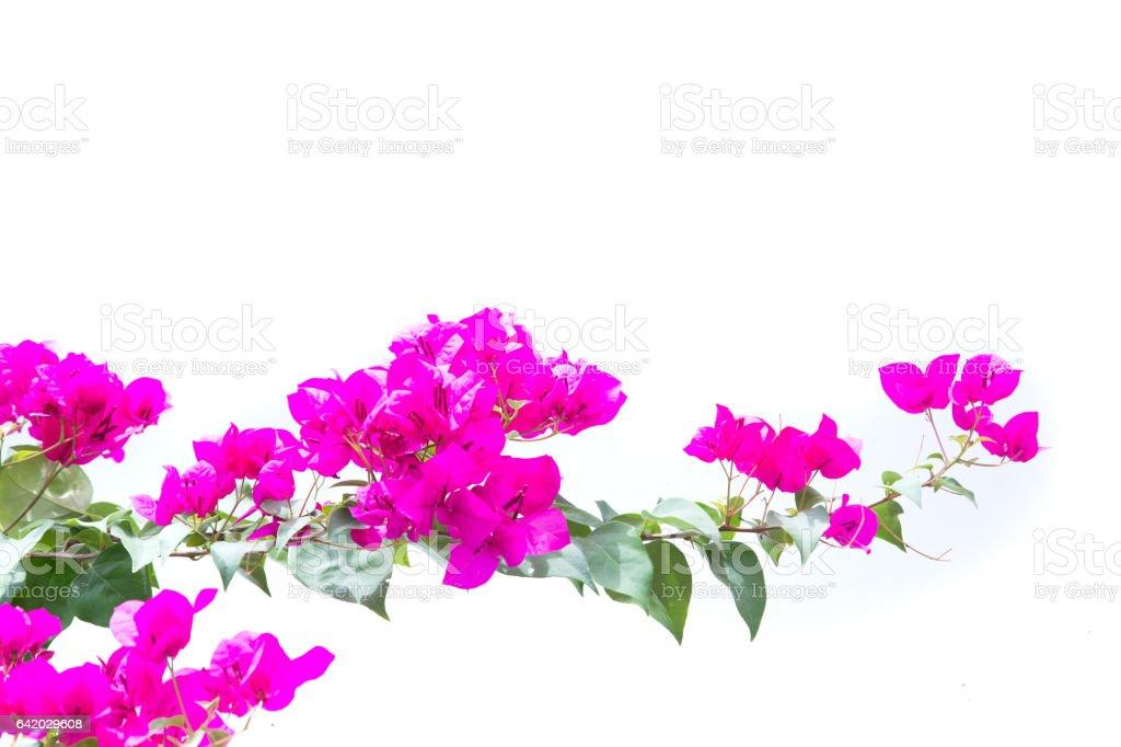 bougainvilleas isolated on white background. stock photo