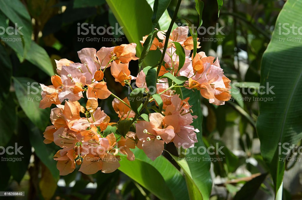 Bougainvillee - Bougainvillea royalty-free stock photo
