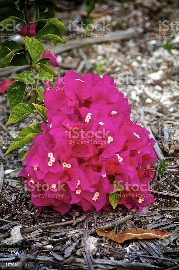 Bouganvillea royalty-free stock photo