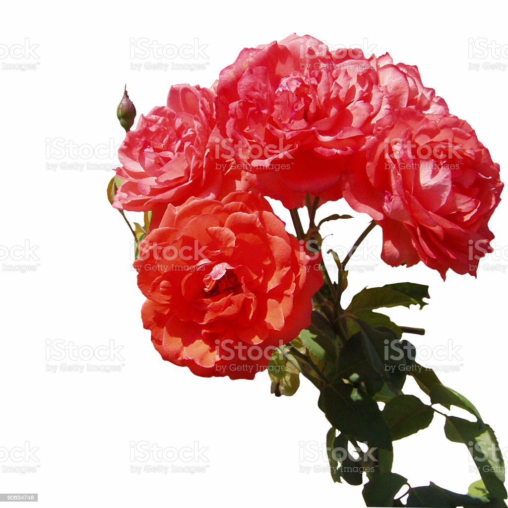 Bouget of roses against white background royalty-free stock photo
