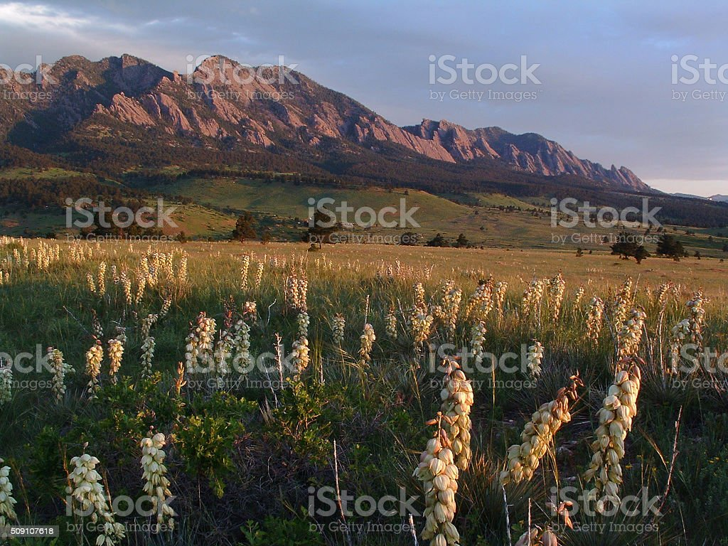 Boulder Yucca flowers sunrise stock photo