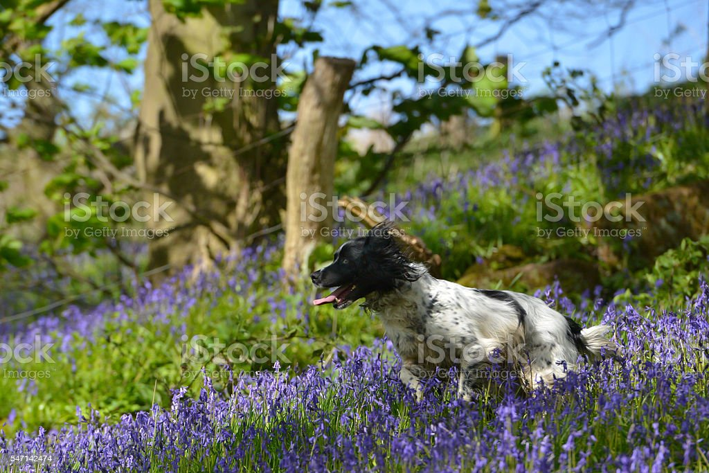 bounding in the bluebells stock photo