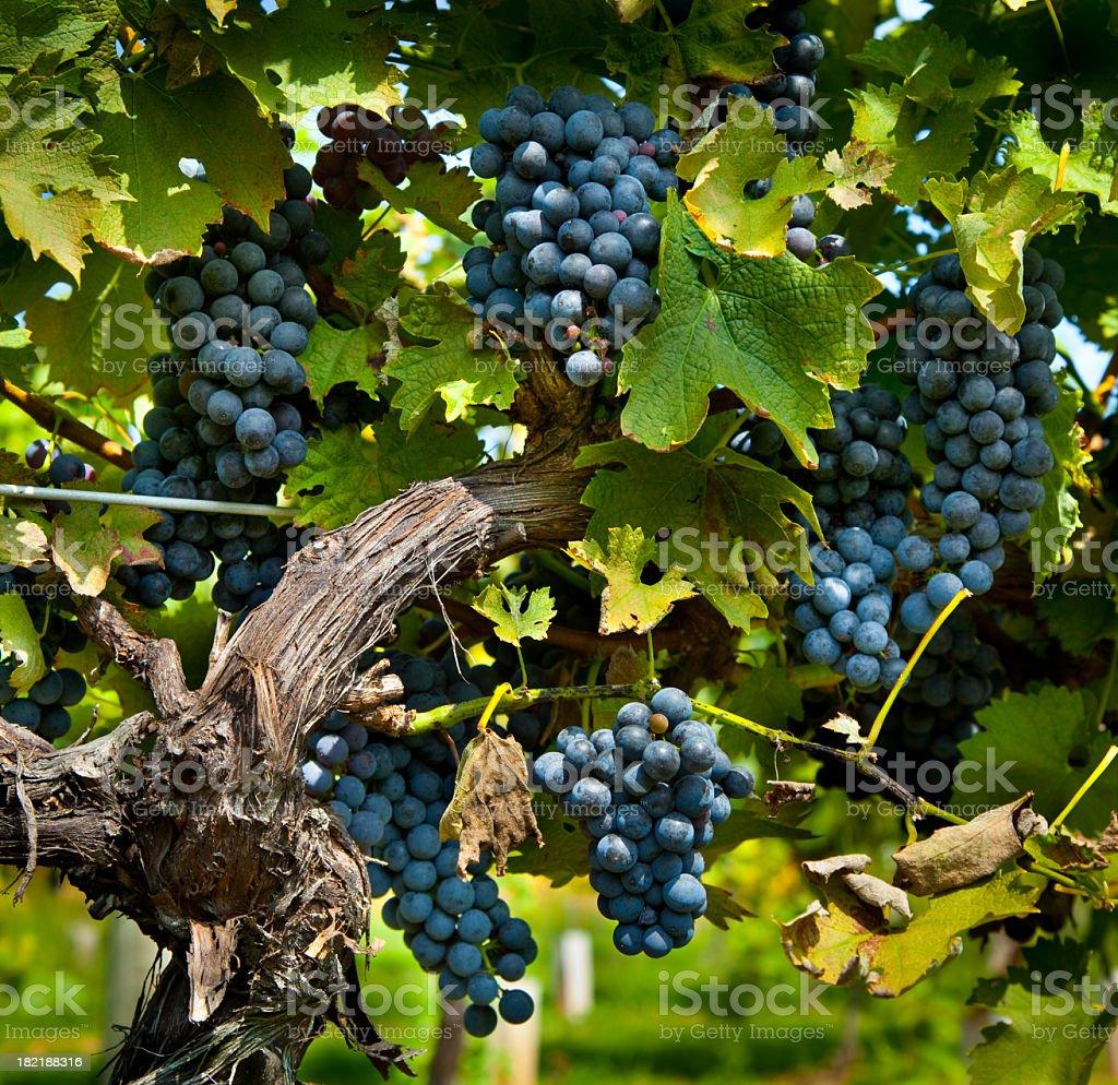 Bountiful Wine Grape Harvest stock photo